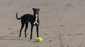 Greyhound Royalty Free Stock Photos