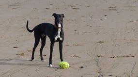 Greyhound royalty free stock photos