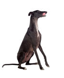 Greyhound breed dog Stock Photography