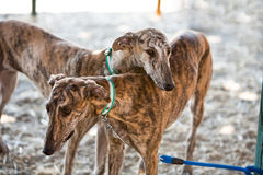The Greyhound is a breed of dog native of Spain stock images