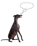 Greyhound breed dog thinking Stock Images