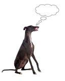 Greyhound breed dog thinking Stock Images