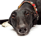 Greyhound closeup Stock Photography