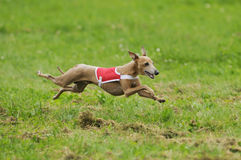 Greyhound coursing. Italian greyhound lure coursing in a championship final Stock Photography
