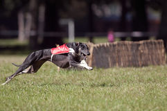 Greyhound coursing. A greyhound lure coursing at full speed Royalty Free Stock Photos
