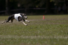 Greyhound coursing. A greyhound lure coursing at full speed Stock Photo