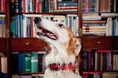 Greyhound dog Stock Photography