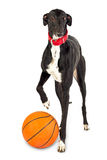 Greyhound dog, 18 months old, with a basketball
