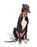 Greyhound dog Royalty Free Stock Images