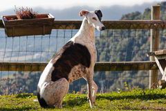 Greyhound Dog Stock Photo