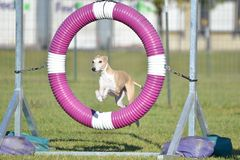 Greyhound at Dog Agility Trial. Greyhound Leaping Through a Tire at Dog Agility Trial royalty free stock photos