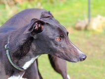 Greyhound dog face alert. Close up. Stock Photography