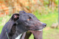 Greyhound dog face looking up. Close up. Stock Image