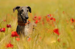 Greyhound dog among flowers in spring Stock Photos