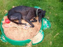 Greyhound dog lying in a child's sand pit. Royalty Free Stock Images