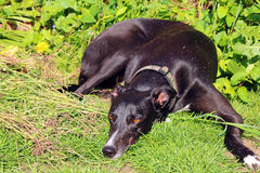 Greyhound dog lying outside on the grass watching. Royalty Free Stock Images