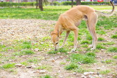Greyhound dog in park sniffing Royalty Free Stock Photos