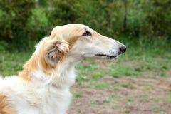 Greyhound dog portrait Stock Photography
