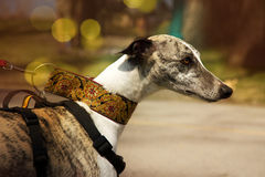 Greyhound dog. Royalty Free Stock Images