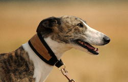 A greyhound dog Stock Image