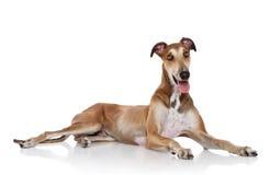 Greyhound dog posing white background Royalty Free Stock Image