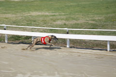 Greyhound dog racing at dog race court. Very fast greyhound flying over race track Stock Image