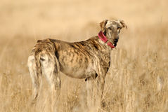 Greyhound dog seen in the countryside Stock Photos