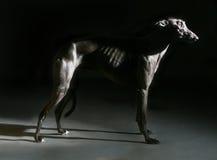 Greyhound dog shadow Stock Image