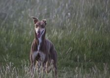 Greyhound Royalty Free Stock Photography