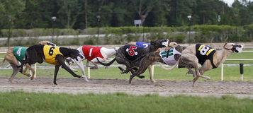 Greyhound Dog Track Racing Stock Image