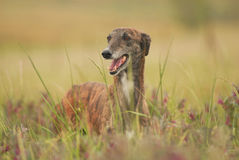 greyhound dog wanders among flowers field Royalty Free Stock Image