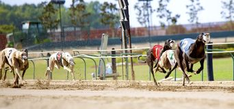 Greyhound dogs in a full sprint. Greyhounds dogs engaged in a dog race at a very prominent and established racetrack located in West Memphis Arkansas Royalty Free Stock Photos