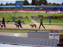 Greyhound dogs on a race track. Stock Photography