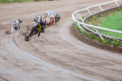 Greyhound dogs racing. On sand track royalty free stock photography