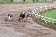 Greyhound dogs racing. On sand track royalty free stock photos