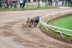 Greyhound dogs racing Stock Images