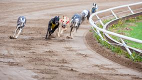 Greyhound dogs racing. On sand track Stock Photos