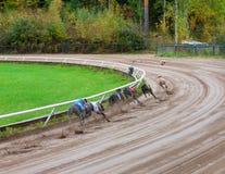 Greyhound dogs racing. On sand track stock photo