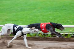 Greyhound dogs racing. On sand track royalty free stock images