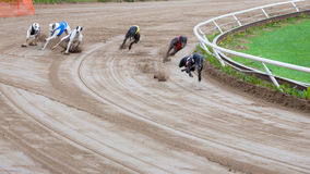 Greyhound dogs racing. On sand track royalty free stock image