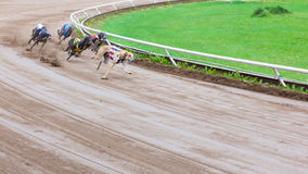 Greyhound dogs racing. On sand track stock image