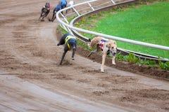 Greyhound dogs racing. On sand track stock photography