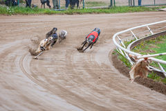 Greyhound dogs racing. On sand track royalty free stock photo