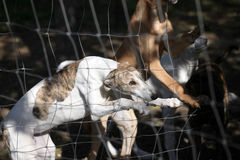 Greyhound dogs. Slim greyhound in the kennel Royalty Free Stock Image