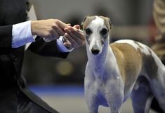 Greyhound at an exhibition Stock Photography