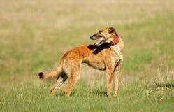 Greyhound in the fields Stock Photos