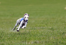 Greyhound at full speed. A greyhound running at full speed stock photography