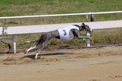 Greyhound at full speed running during a dograce Royalty Free Stock Image
