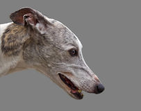 Greyhound head Stock Image