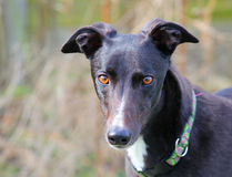A greyhound head portrait. Royalty Free Stock Photography